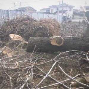 大きなクルミの木 その後