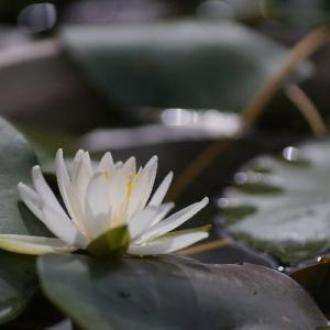 八愛(やえ)開花