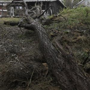 ニセアカシア伐採 二日目