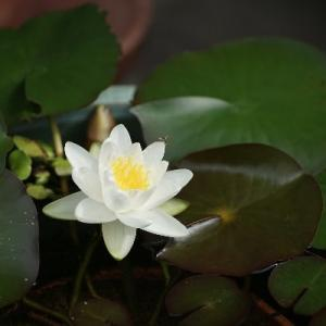 二十三・二十四番目の睡蓮花開花