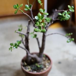 母が育てた植物 金のなる木