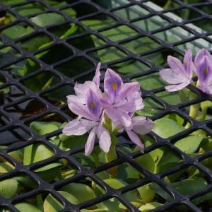 ホテイアオイ開花