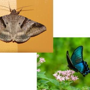 蝶 (常世虫・ホツマ時代) と 蛾 (養蚕・古代日本国) 考