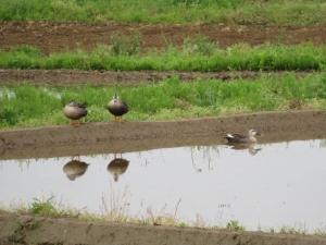 平成の宮中三殿 春の雨  #jhaiku #kigo
