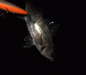 シーバス釣行 春の兆し