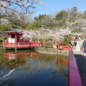 茂原公園で桜が見頃でした♪