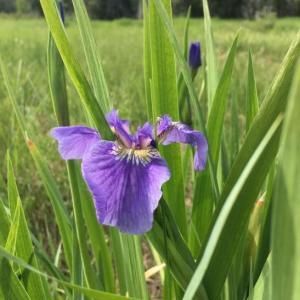 アヤメ Wild Iris