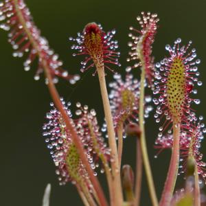 アラスカの食虫植物