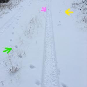 雪の上の足跡 ~ アカギツネ、かんじきウサギ