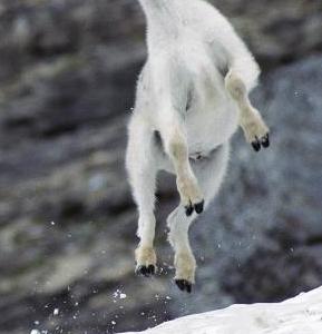 飛び乗り まるで山羊