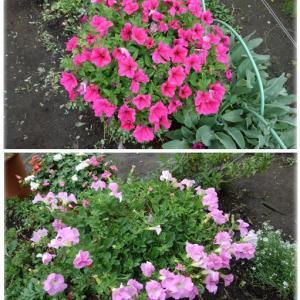 ラストステージの花たち(サフィニア・インパチェンス)