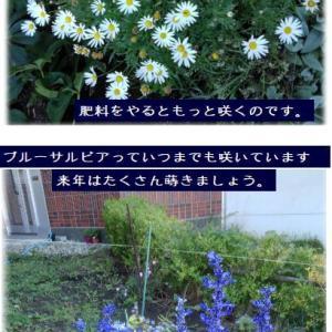 ラストステージの花たち(カリブラコア・マーガレット・ブルーサルビア)ヘブン日誌