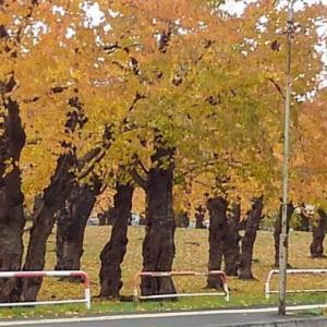 公園(散歩道)の桜の紅葉