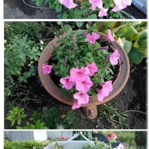 サフィニアが咲きだしました。・ビオラのコボレ探し・シレネの植え替え