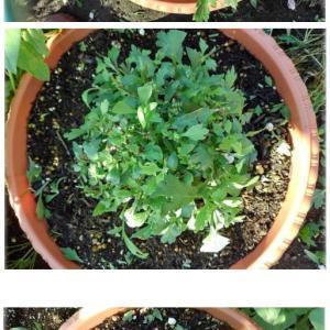 ガーデンマムの整形・初めてのお花、ケイトウ