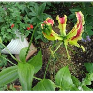 グラリオサの開花・葉が縮むのは病気かな・サフィニア挿し芽苗の定植