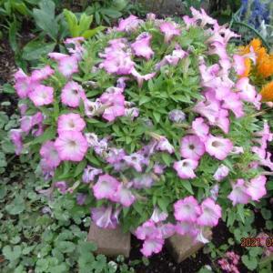 雨で傷んだサフィニア・クリスマスローズの新芽・雨で元気になった花たち