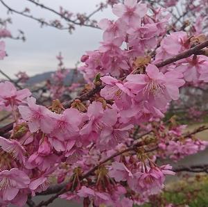 鋸南町の頼朝桜