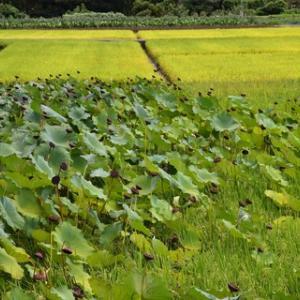 秋のハス畑・再訪