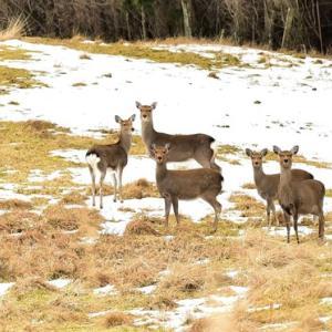 野生鹿と遊ぶ