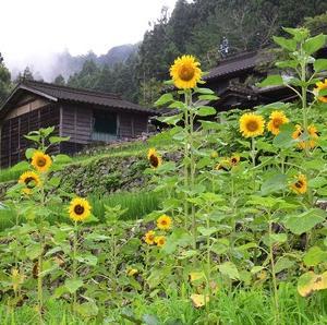 夏の花「向日葵」