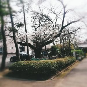 たくさんの桜~