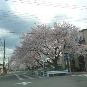 2020宇都宮の桜が満開!