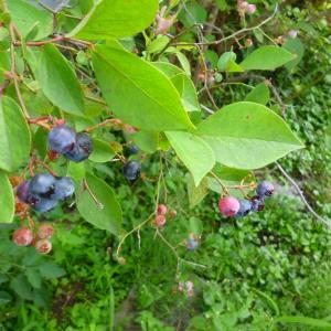 やっとブルーベリー収穫!