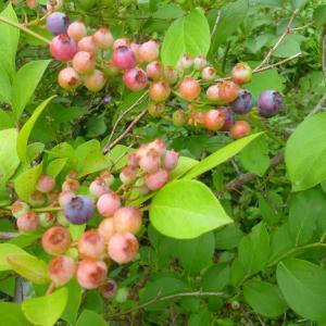 今年のブルーベリーは大量収穫の予感!
