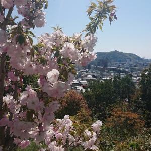 道後 松山神社の金龍桜