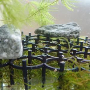 ミナミヌマエビ水槽とハスの実