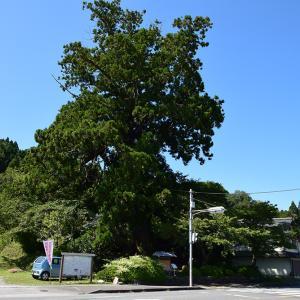 樹齢800年の巨樹、安田の大杉。