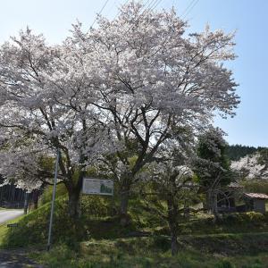 桜が満開の丹波友政城攻城記。 その1 <登山道>