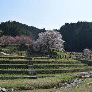 又兵衛桜 ~樹齢300年超の伝説の枝垂れ桜~