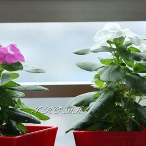 ベランダの植物8月、9月