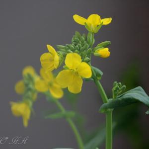 菜の花 Komatu