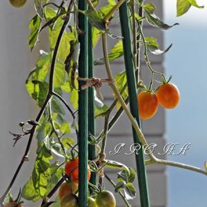 4月 ベランダの野菜たち