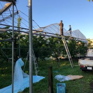 さくらんぼ屋根掛け終了