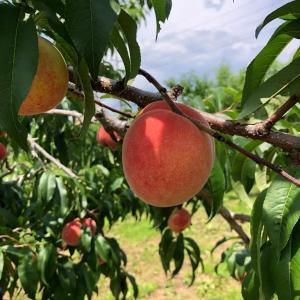 桃狩り 17日土曜日オープンです。