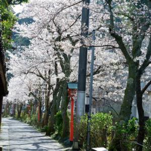 城崎温泉の桜(さくら)開花状況★令和2年4月1日