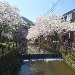 城崎温泉の桜(さくら)開花状況★令和2年4月4日