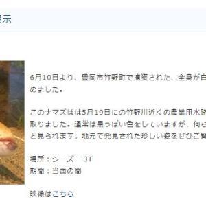 白いナマズ★城崎マリンワールドで展示