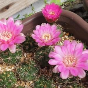 北米サボテン達の花いろいろ