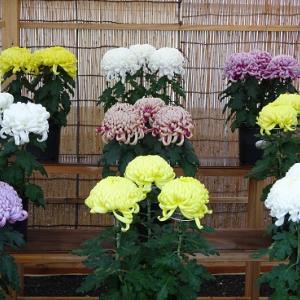 美しい菊の数々
