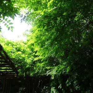 青い紅葉の龍安寺