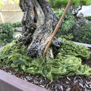 盆栽 ハマシタン  テンバイ