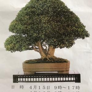 日本盆栽協会那覇支部 盆栽展