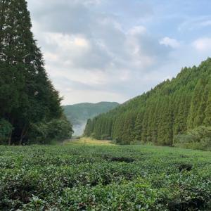 捗らない稲刈りと秋の茶園とカキドオシ