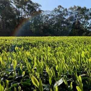 お茶畑に緑の風が通り抜ける