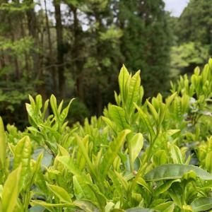 山茶の手摘みから令和2年のお茶摘みスタートです